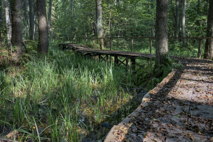 The path trough the swamp in Bukta forest, Zuvintas Biosphere Reserve, Lithuania